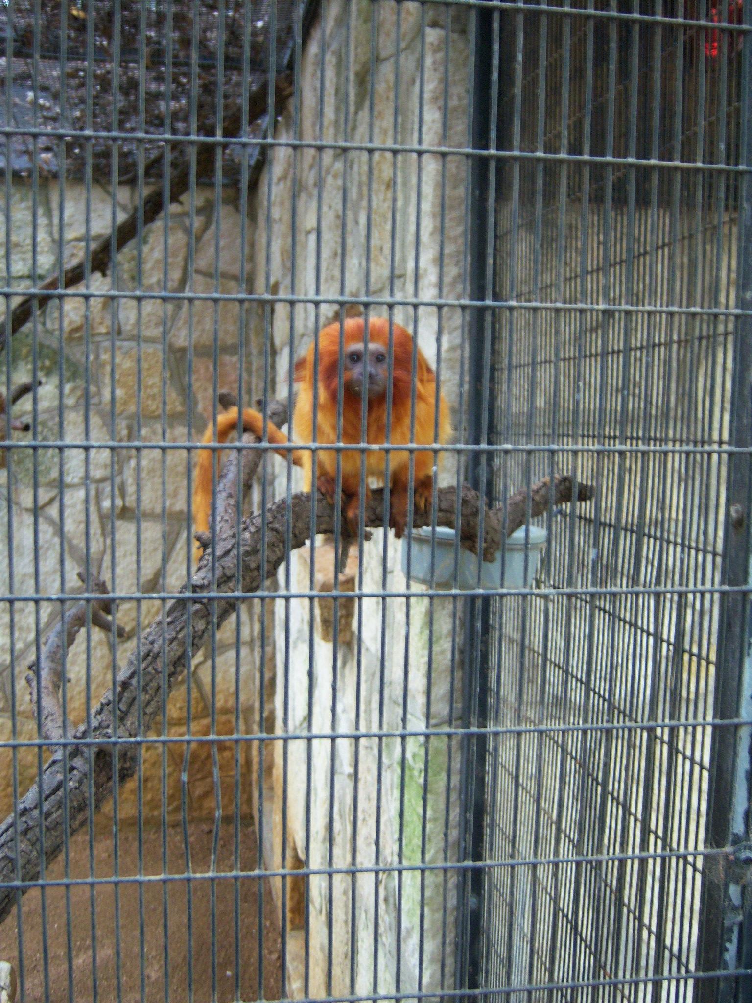 Golden Lion Tamarin at the San Antonio Zoo and Aquarium