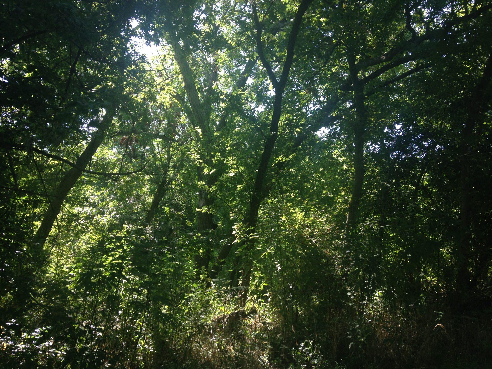 Photo of trees along South Salado Creek Greenway.